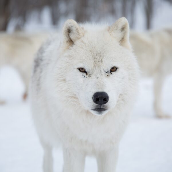 alpha-arctic-wolfpack-in-snow